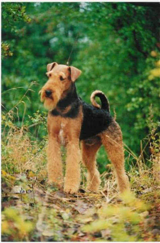 Kennel Spicaway - Airedale Terrier